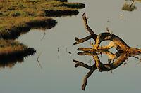 Black winged Stilt (Himantopus himantopus) in the lagoon. The Karavasta Lagoons National Park, Albania June 2009
