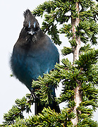 Steller's Jay (Cyanocitta stellen) in a Mountain Hemlock (Tsuga mertensiana) Mount Rainier National Park, Washington, USA