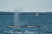fin whales or finback whales, Balaenoptera physalus, blowing or spouting off Grand Manan Island, with sailboat in background, Bay of Fundy, New Brunswick, Canada ( North Atlantic Ocean )