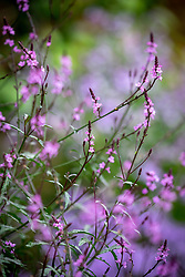 Verbena officinalis var. grandiflora 'Bampton' - Vervain