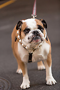 An English Bulldog with a pearl necklace goes for a walk in Charleston, SC.