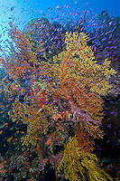 """""""Explosion"""" of Soft Corals and Anthias"""