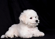 Bichon Frise (curly lap dog) puppy. A small breed of dog of the Bichon type. The Bichon Frise is a member of the Non-Sporting Group of dog breeds in the United States and a member of the Toy Dog Group in the United Kingdom.