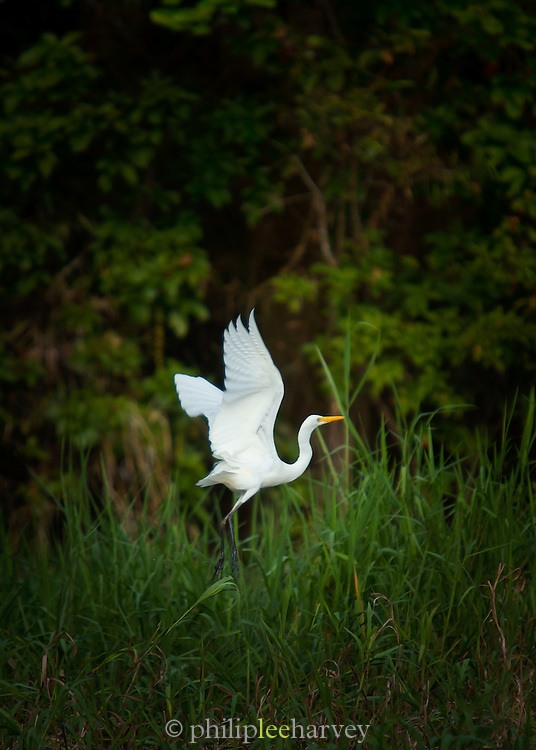 Egret taking off, Lake Murray, Middle Fly District, Western Province, Papua New Guinea