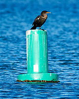 Double-crested Cormorant (Phalacrocorax auritus). Fort De Soto Park. Pinellas County, Florida. Image taken with a Nikon D300 camera and 600 mm f/4 VR lens.