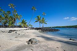 Green Sea Turtle, Chelonia mydas, basking in the sun on beach at Keone`ele Cove, the Great Wall bult in the mid-1500s, and Coconut Palms, Cocos nucifera, in background, Pu`uhonua o Honaunau or Place of Refuge National Historical Park, Honaunau, Big Island, Hawaii