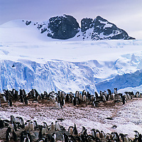 Gentoo penguins stand in a snowy rookery  on Cuvervile Island, Antarctica.