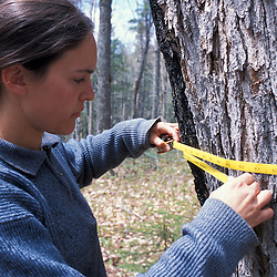 Kibby Township, ME.  A field researcher for Manomet Observatory measures the diameter of a 100 year-old sugar maple on a tract of Maine timberland.