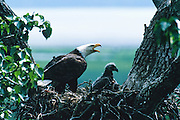 Alaska. Bald Eagle (Haliaeetus leucocephalus). Eaglets and parent in nest in Cottonwood tree.