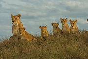 Lion pride with cubs of various ages, Serengeti National Park, Tanzania.