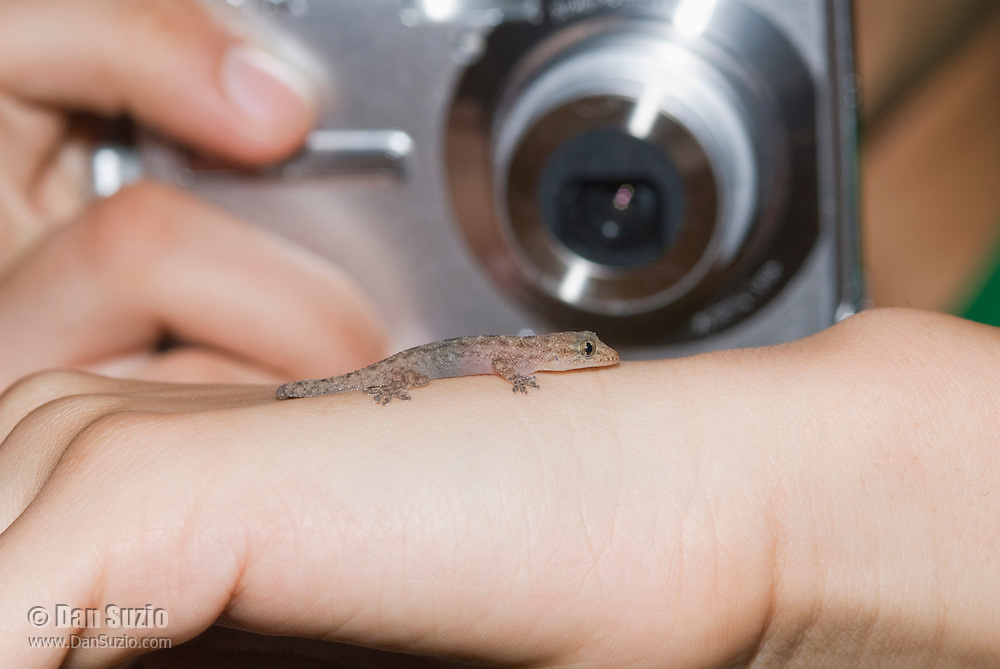 A biology student photographs a house gecko, Hemidactylus frenatus. Atauro Island, Timor-Leste (East Timor)