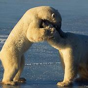 Polar bears playing on Hudson Bay.