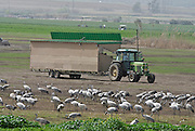 Israel, Hula Valley visitors viewing a large flock of Eurasian Cranes through a mobile hide