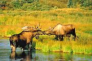 Alaska . Denali National Park . Bull Moose (Alces alces) and cow in water , mating behavior .
