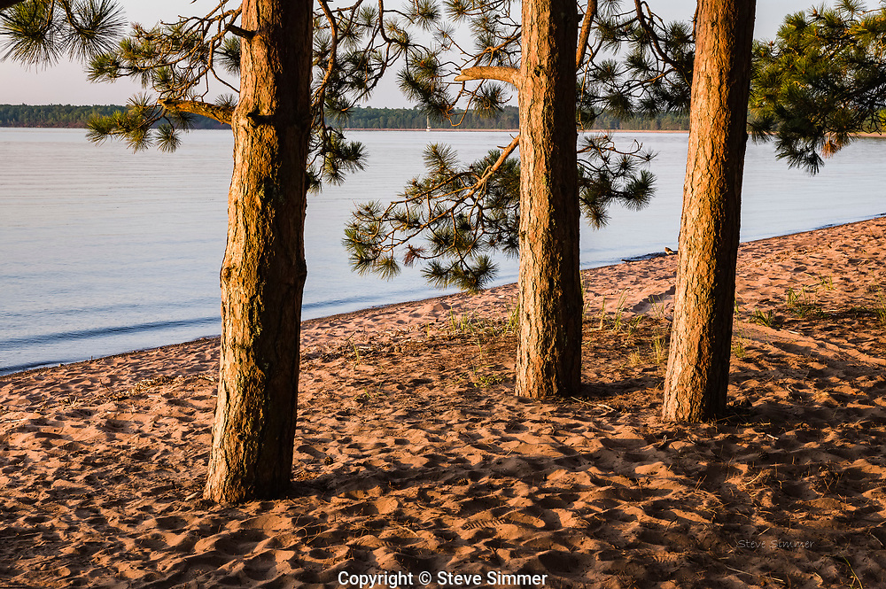 Three Red Pines on Madeline Island are lit by the golden glow of the just-risen sun.