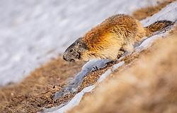 THEMENBILD - ein Murmeltier läuft auf einer Wiese die teilweise mit Schnee bedeckt ist, aufgenommen am 20. April 2018 in Fusch an der Glocknerstrasse, Österreich // a marmot runs over a meadow which is partly covered with snow, Fusch an der Glocknerstrasse, Austria on 2018/04/20. EXPA Pictures © 2018, PhotoCredit: EXPA/ JFK