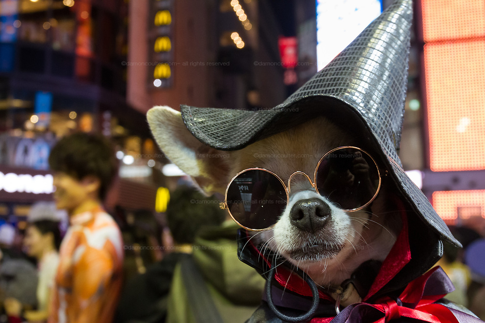 A small dog dressed as a witch during the Halloween celebrations Shibuya, Tokyo, Japan. Saturday October 27th 2018. The celebrations marking this event have grown in popularity in Japan recently. Enjoyed mostly by young adults who like to dress up, drink , dance and misbehave in parts of Tokyo like Shibuya and Roppongi. There has been a push back from Japanese society and the police to try to limit the bad behaviour.