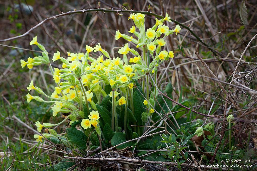 False Oxlip. Primula veris x vulgaris