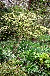 A border in the woodland garden with Cornus alternifolia 'Argentea', epimediums, daffodils and erythroniums