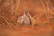 Two snails (Helix engaddensis) mating. Helix engaddensis is a species of snail common in the Levant, both in Mediterranean, desert and montane climates. It is smaller than the closely related European Garden snail and usually lighter in color. H. engaddensis goes through estivation. It is dormant in the ground during the dry season and emerges after the first rains (in late autumn). Mating takes place soon after emerging. The snails are active through winter (except in high montane regions, where they might be forced into a somewhat unnatural hibernation) and return to an inactive state at the end of the wet season (midspring). Photographed in Israel in December