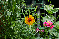 Farm 04 - Left (Day 57). Plains Coreopsis and Lilliput Zinnia flowers. Image taken with a Leica TL-2 camera and 35 mm f/1.4 lens (ISO 640, 35 mm, f/8, 1/80 sec).