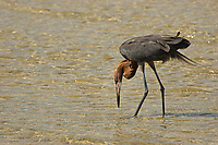 A reddish egret hunts for fish and crustaceans on Bunche Beach in Fort Myers, Florida.