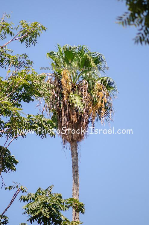 Mature California Fan Palm (Washingtonia filifera) with blue sky background. Photographed in Jaffa Israel