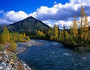 Autumn colors of balsam poplars along the North Klondike River, Yukon Territory, Canada.