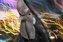 Dark evil rooster