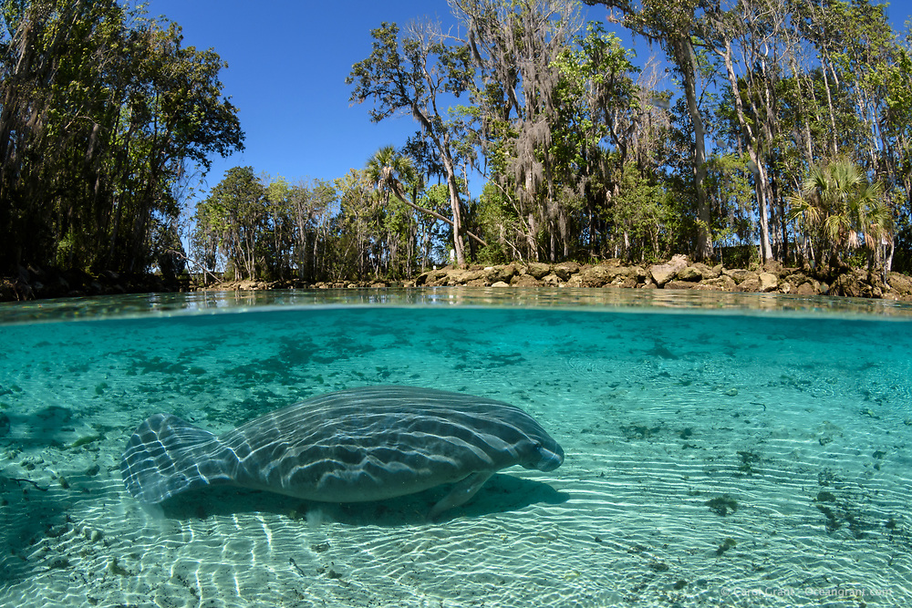 Above and below image of a manatee at Three Sisters Springs shows the strong sunlight warming the springs and the lovely Florida blue sky above. Three Sisters Springs on a clear blue water peaceful day.  Florida manatee, Trichechus manatus latirostris, a subspecies of the West Indian manatee, endangered IUCN. USFWS downlisted to Threatened in 2017. Kings Bay, Crystal River National Wildlife Refuge, Kings Bay, Crystal River, Citrus County, Florida USA.