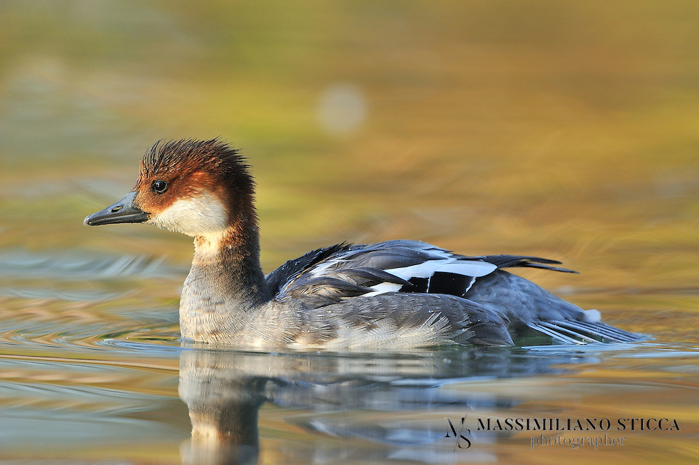 The Smew (Mergellus albellus) is a species of duck It is somewhat intermediate between the typical mergansers (Mergus) and the goldeneyes (Bucephala), the only member of the genus Mergellus. Sometimes included in Mergus, this genus is distinct (though closely related) and might actually be closer to the goldeneyes. The Smew has interbred with the Common Goldeneye (B. clangula).<br /> An unnamed fossil seaduck, known from a humerus found in the Middle Miocene Sajóvölgyi Formation (Late Badenian, 13–12 million years ago) of Mátraszõlõs, Hungary, was assigned to Mergus. However, the authors included the Smew therein, and consequently, the bone is more properly assigned to Mergellus—especially as it was more similar to a Smew's than to the Bucephala remains also found at the site. It is sometimes argued (e.g. by Mlíkovský in Cenozoic Birds of the World) that the Mátraszõlõs fossil is too old to represent any of the modern seaduck genera, but apparently these were all well-distinct even back then.<br /> Fossils from the earliest Pleistocene found in England indicate that the living species was extant 1.5 to 2.0 million years ago.
