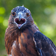 A female Dark Morph Red Tailed Hawk (Buteo jamaicensis) in the care of Wildlife Rescue, Inc. of New Mexico (wrinm.org)