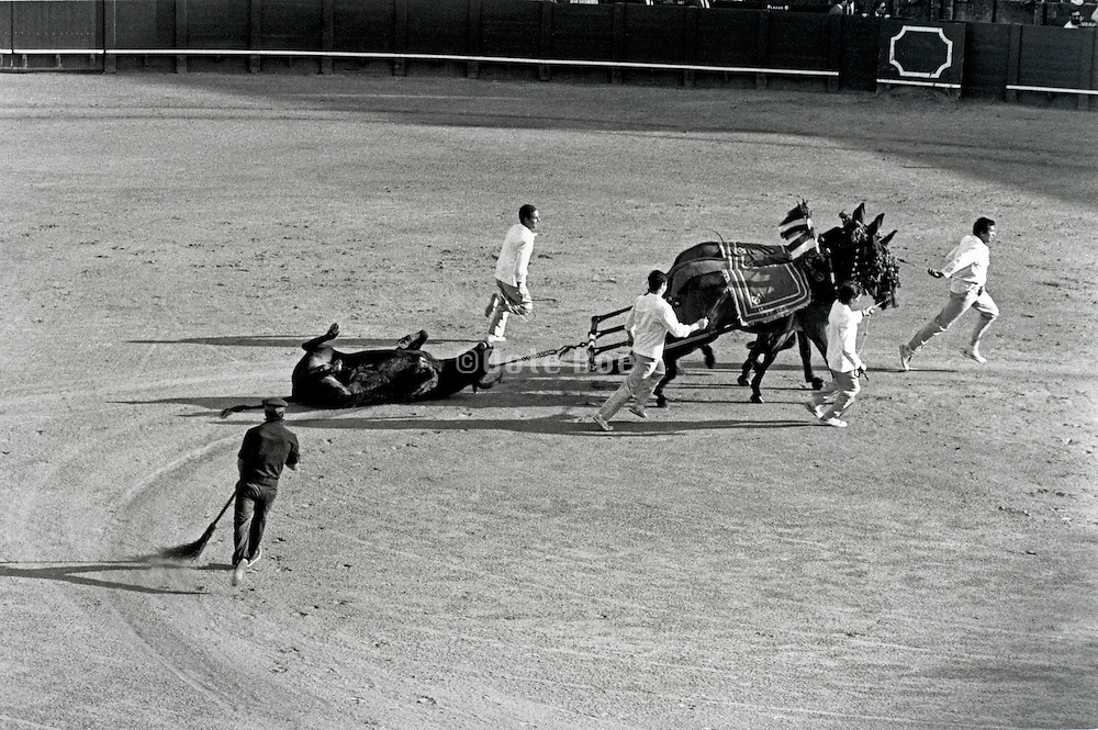 butchers dragging the bull after it is killed out off the ring