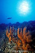feather black coral, <br /> Antipathes pennacea, <br /> Cay Sal wall, Bahamas,<br /> ( Western Atlantic Ocean )