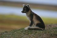 21: SVALBARD ARCTIC FOX