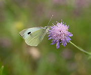 Large White Butterfly, Pieris brassicae, nectaring on Field scabious (Knautia arvensis), Kent UK