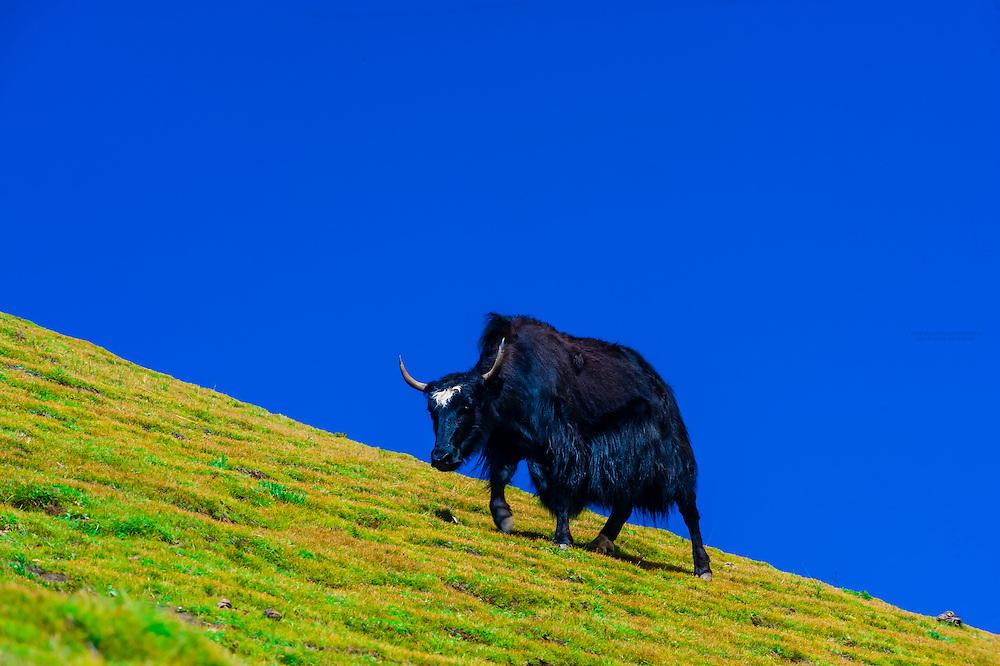 A yak grazing on 15820 foot Kambala Pass, Tibet (Xizang, China).