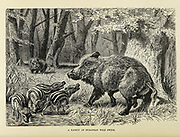 The wild boar (Sus scrofa), also known as the wild swine, common wild pig, or simply wild pig, is a suid native to much of Eurasia and North Africa From the book ' Royal Natural History ' Volume 2 Edited by Richard Lydekker, Published in London by Frederick Warne & Co in 1893-1894