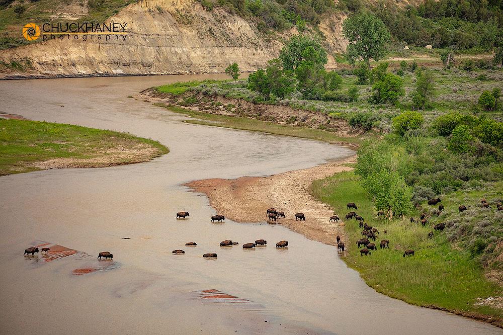 Bison herd crosses the Little Missouri River in Theodore Roosevelt National Park, North Dakota, USA