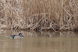 Coots and a blue Winged Teal swim in the cold water of a lake in early spring