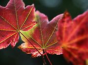 Fall light hits vine maple leaves that are turning color near Mt. Rainier. (Steve Ringman / The Seattle Times)