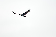 A brahminy kite (Haliastur indus) in flight.