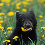 Black Bear cub in a field of dandelions chewing on one of the flowers. Spring in Montana, Captive Animal