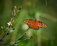 Orange Butterfly. Biolab Road, Merritt Island National Wildlife Refuge. Image taken with a Nikon D4 camera and 500 mm f/4 VR lens (ISO 640, 500 mm, f/6.3, 1/4000 sec).