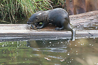 Northern River Otter (Lutra candensis) with fish, at Point Holmes, Comox, Vancouver Island, Canada   Photo: Peter Llewellyn