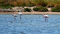 Greater Flamingo (Phoenicopterus roseus). Parque Nacional de Donana. Image taken with a Nikon D4 camera and 80-400 mm VR lens.