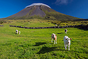 Livestock graze in an alpine region with Pico Mountain in the background, covered in a lenticular cloud, Pico Island, Azores, Portuguese autonomous region, North Atlantic Ocean. Image available as a premium quality aluminum print ready to hang.