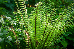Dryopteris wallichiana AGM - Wallich's wood fern