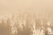 Canada geese take flight on a foggy morning at the 6 1/2 Station Road Sanctuary in Goshen, N.Y., on Nov. 10, 2020.