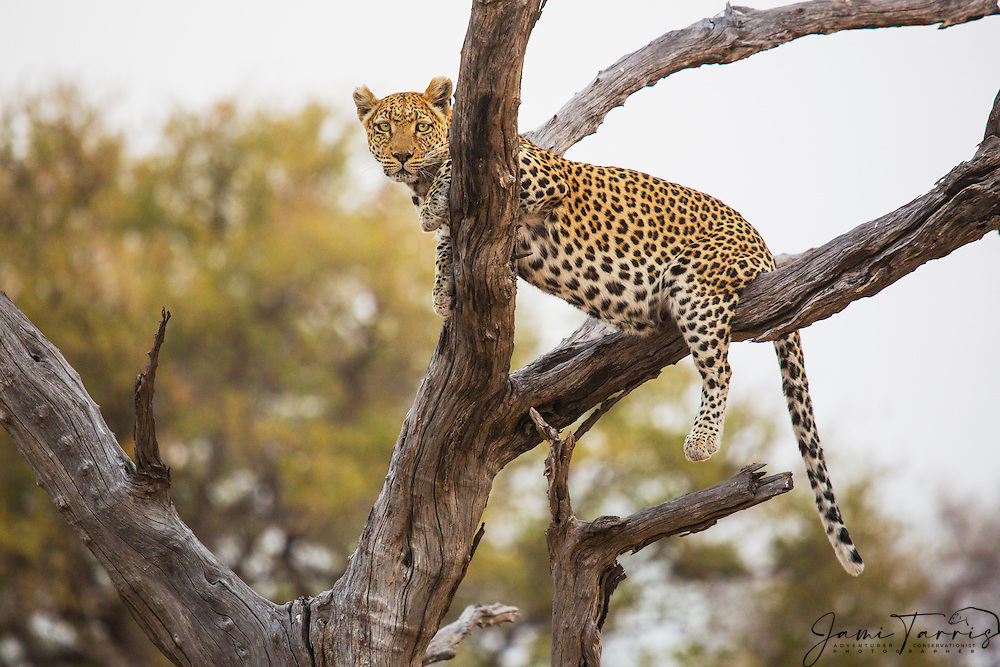 A leopard awkwardly resting in a tree (Panthera pardus), Moremi Game Reserve, Botswana, Africa